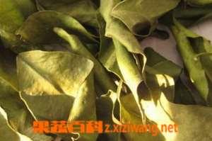 橘子叶的用途 橘子叶有什么作用和功效