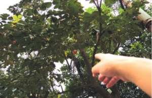 资讯生活郑州:街头柿子树成熟后景观慢慢变烦恼