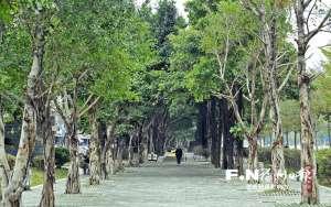 福州城区绿化项目加速推进 种大树造绿荫